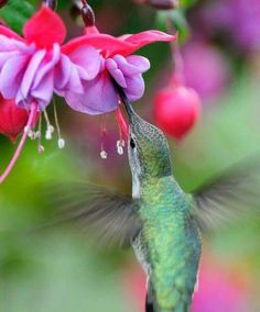 Pretty Birds, Beautiful Birds, Animals Beautiful, Hummingbird Garden, Hummingbird Tattoo, All Birds, Little Birds, Hummingbird Pictures, Backyard Birds