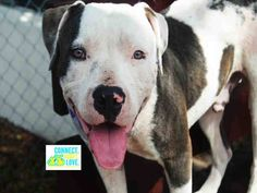 APOLLO (A1697976) I am a male white and gray American Bulldog mix. The shelter staff think I am about 1 year old and I weigh 62 pounds. I was found as a stray and I may be available for adoption on 05/17/2015. Miami Dade https://www.facebook.com/urgentdogsofmiami/photos/pb.191859757515102.-2207520000.1431591107./976904085677328/?type=3&theater