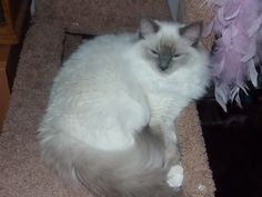 Sally (Blue Mitted Ragdoll) and Victor (Blue Point Ragdoll)