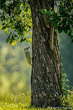 Groene specht... Fotograaf: o0oRichard Terwijl ik onder het gelach van deze juvenile groene specht (Picus viridis) zat te wachten in en grasveld, vloog hij tegen de stam van deze boom aan. Nederlandse naam: Groene specht Wetensch. naam: Picus viridis