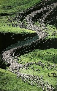Sheep in New Zealand  National Geographic