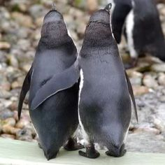 # PENGUINS..........