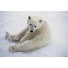 Snowflake - Polar Bear Cub - $0.00