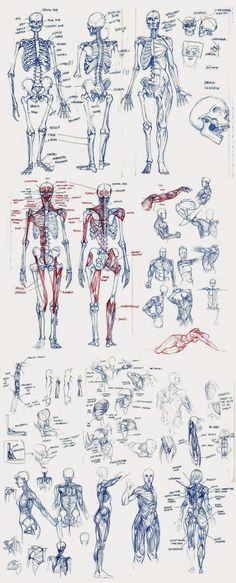 Human Figure Drawing Reference Matt Rhodes — Okay, this is the last batch of academic stuff. Human Figure Drawing, Figure Drawing Reference, Anatomy Reference, Life Drawing, Drawing Tips, Anatomy Sketches, Art Sketches, Art Drawings, Skeleton Drawings