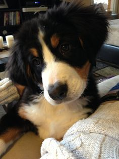 Bernese Mountain Dog at rest