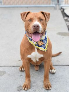7/20/16 QUEENIE CAME IN WITH BISHOP - STILL THERE - URGENT BROOKLYN CENTER - BISHOP – A1081071 MALE, TAN / WHITE, AM PIT BULL TER MIX, 4 yrs STRAY – EVALUATE, HOLD RELEASED Reason OWNER SICK Intake condition EXAM REQ Intake Date 07/13/2016, From NY 11208, DueOut Date 07/16/2016, I came in with Group/Litter #K16-065377.