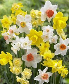 """The Fragrant Narcissus Mixture - for the front slope.  """"It is a selection of many of the following:  Bridal Crown, Falconette, Thalia, Suzy, Yellow Cheerfulness, Cheerfulness, Jenny, recurvus, Geranium, Pueblo,  Hillstar, tripartite, and Quail."""""""