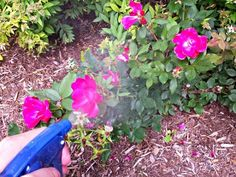 Love growing Roses? Learn about the 10 things available in your kitchen that you can use to have healthy Rose plants!