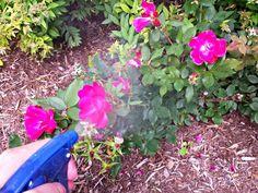 Todos sabemos lo delicados y exigentes que son los rosales. Aquí hemos pretendido reunir diez propuestas para que puedas mejorar la salud de tus rosales con productos sencillos que todos tenemos en…