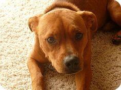 St Petersburg, FL - Welsh Corgi/Golden Retriever Mix. Meet Herbie - 24 lbs of Divine!, a dog for adoption. http://www.adoptapet.com/pet/11488483-st-petersburg-florida-welsh-corgi-mix