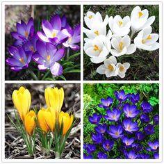 100pc/bag Saffron (Not Crocus Saffron Bulbs) Bonsai Flower Seeds Plant for Home Garden