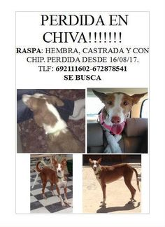 Rumbo A Sirio: Podenca Ibicenca perdida en Chiva (Valencia)