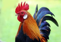 61 Best Birds Rooster images in 2016   Rooster, Game fowl
