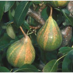 Humbug Pear Tree