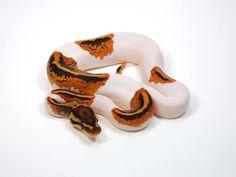 Pumpkin Pied - Morph List - World of Ball Pythons