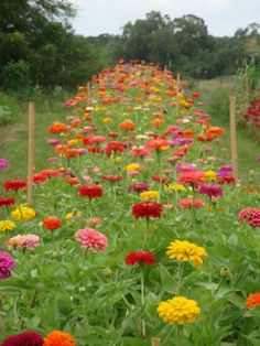 Zinnias~Long lasting cut flowers for your home! Types Of Flowers, Cut Flowers, Beautiful Flowers, Cut Flower Garden, Flower Farm, Growing Flowers, Planting Flowers, Growing Zinnias From Seed, Rustic Gardens