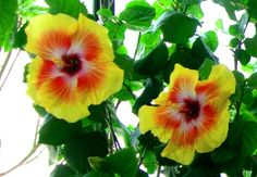 More Hibiscus 'Acapulco Gold' Twins