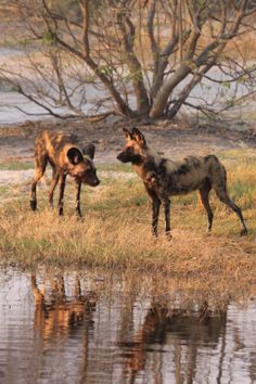Wild Dogs on a riverbank, Savuti, Botswana by Richard Ainsworth