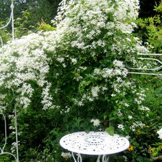 Clematis paniculata yummy smelling fast growing vine