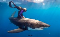 Ocean Ramsey swimming with a Great White Shark. She is known for her work as a shark conservationist, in which she swims with sharks, including great white sharks, to show the importance of conservation. She has dived with 32 species of sharks. The Great White, Great White Shark, Orcas, Species Of Sharks, Fauna Marina, Shark Diving, Shark Shark, Scuba Diving, Shark Pics