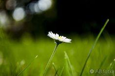 Daisy by Adam Budziarek