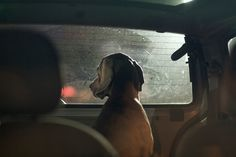 Dogs in cars | Martin Usborne Photography