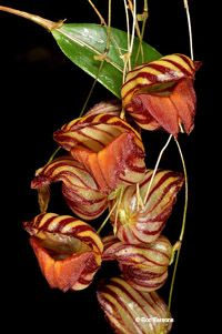 Lepanthes species, orchid photographs