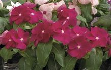 Catharanthus roseus 'Nirvana Red'