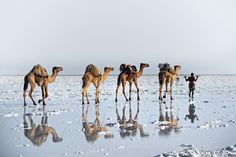 The salt road - An age old practice using camels to carry salt from the Danakil desert (Afar, Ethiopia) from salt pans below sea level to the highlands of Ethiopia. Temperatures are often - the hottest place on Earth. Alpacas, San Diego Zoo, Shot Photo, Photo Competition, National Geographic Photos, Your Shot, Wanderlust Travel, Ethiopia, Amazing Photography