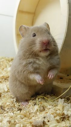 Teddy Hamster, Bear Hamster, Hamster Life, Hamster House, Hamster Animal, Hamsters As Pets, Funny Hamsters, Rodents, Cute Little Animals