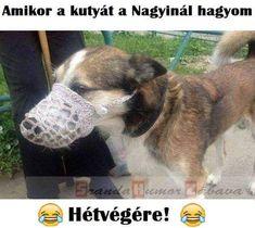 Vizsla, Haha, Funny Pictures, Dogs, Animals, Fanny Pics, Animales, Animaux, Ha Ha