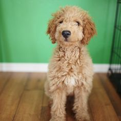 Promise Tangeman's Golden Doodle is so freaking adorable and Promise herself is an amazing Graphic Designer. Just sayin'