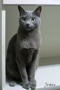 If you are looking for a truly unique and beautiful kitten you don't have to look much further than the Russian Blue breed. Delightful Discover The Russian Blue Cats Ideas. Chartreux Cat, Nebelung, Cool Cats, Weird Cats, Russian Blue Kitten, Korat, Cat Pose, Super Cat, Grey Cats