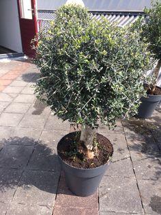 #Olive Tree #Olijvenboom: Available at www.barendsen.nl