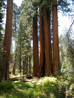 Group of giant sequoia in Kings Canyon National Park, 4.5 hours away