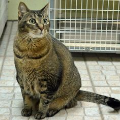 Remmy is a 10 year old male Domestic Short Hair with an appetite for love and lasagna. Remmy does well with other cats and thinks that rubbing against you is an Olympic sport.  Remmy is neutered, vaccinated, and microchipped.  His adoption fee is $40.