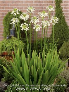 Ornithogalum saundersia - giant chincherinchee  Frost hardy  Deciduous  Flowers in spring  Sun to semi shade