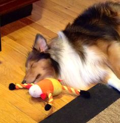Sheltie and his toy are both taking a quick nap:)