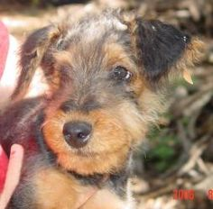 Sherlock is an adoptable Airedale Terrier Dog in Georgetown, TX. What can you say about a 10-week old fuzzy purebred Airedale puppy, except that he is cute, cute, cute and, at this age, is capable of ...