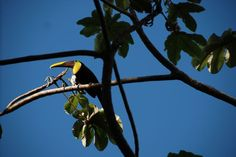 Chestnut-mandibled Toucan in Tree