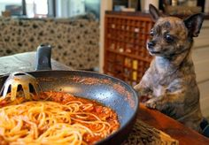 Chihuahua Dogs, Pup, Friends, Ethnic Recipes, Animal Photography, Animales, Amigos, Dog Baby, Chihuahua