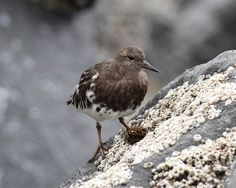 https://flic.kr/p/zjtsiq | Black turnstone, Westport, Wasington | Bird photographed on a trip to the Washington Coast.  Weather was overcast so lighting wasn't the best.  Please let me know if this bird is incorrectly identified. There were six birds in this group and about the same number below the fishing peer.  I returned 2 days after I took this photo and found none. Best viewed large.   IMG_9535