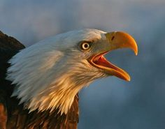 If you have never heard an American Bald Eagle sounding off you have missed a real ...