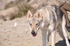 photo album Czechoslovakian Wolfdog, Husky, Album, Dogs, Animals, Beautiful, Wolf Dogs, Nature, Animales