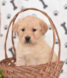 Puppies for Sale Golden Retriever Mix, Labrador Retriever, Lancaster Puppies, Animal Antics, Puppies For Sale, Dogs, Animals, Labrador Retrievers, Animales