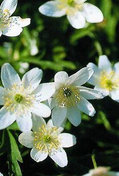 anemone bulbs