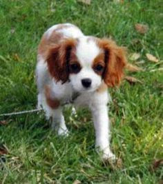 My next dog ~ Cavalier King Charles Spaniel ~