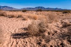 Desert scrub brush grows in the sand near Kelso Dunes at the Mojave National Preserve California.  See more #photos at 75central.com