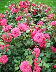 Ensimmäinen Viherpeukalot-ruususarjan ruusu.