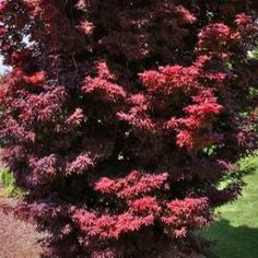 Twombly's Red Sentinel Japanese Maple – Sheridan Nurseries